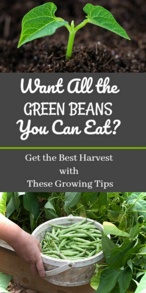 Want All the Green Beans You Can Eat? Get the Best Harvest With These Growing Tips | Ready Nutrition