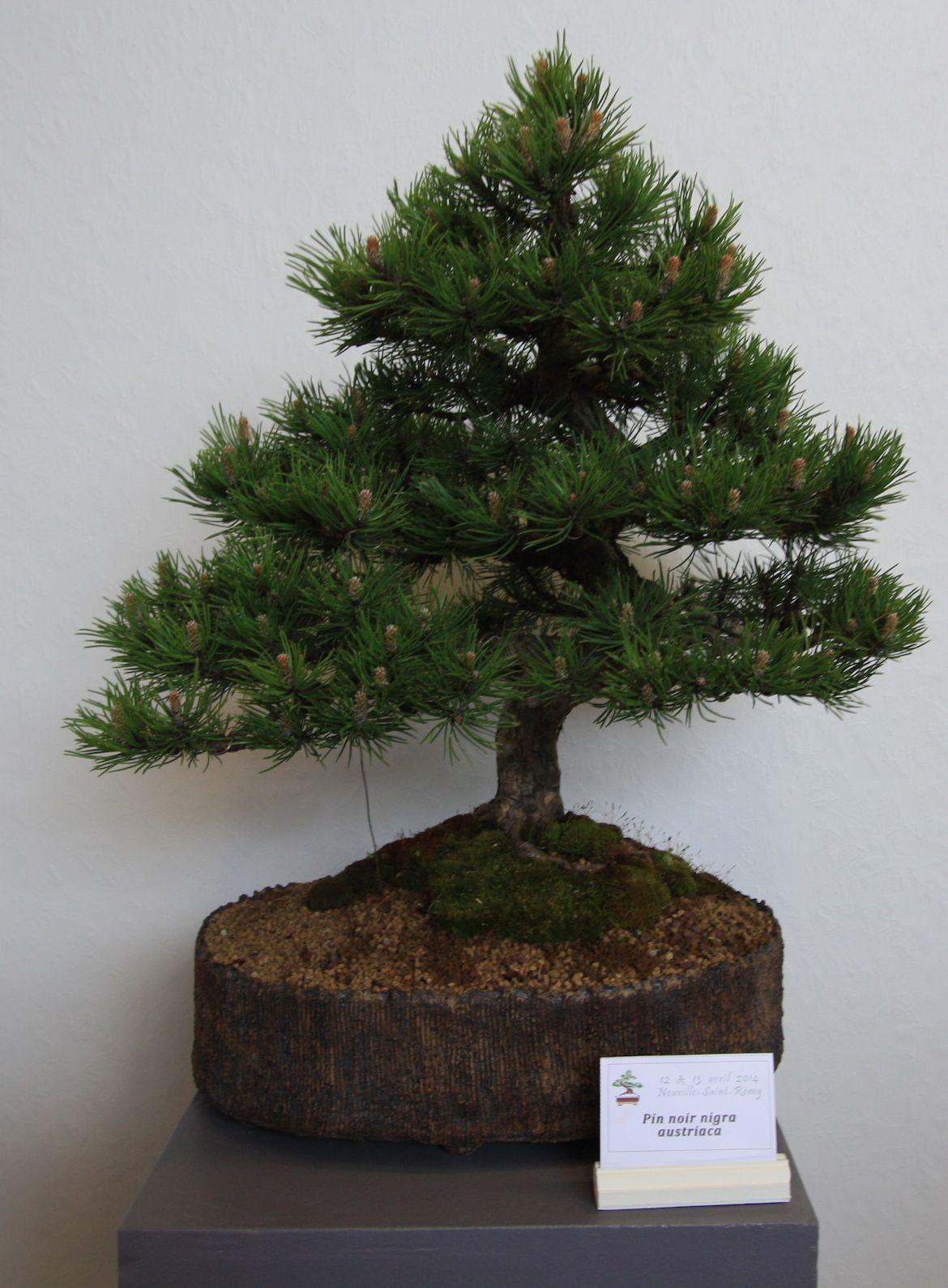 Austrian Black Pine Bonsai Tree Miniature Trees Growing Tree