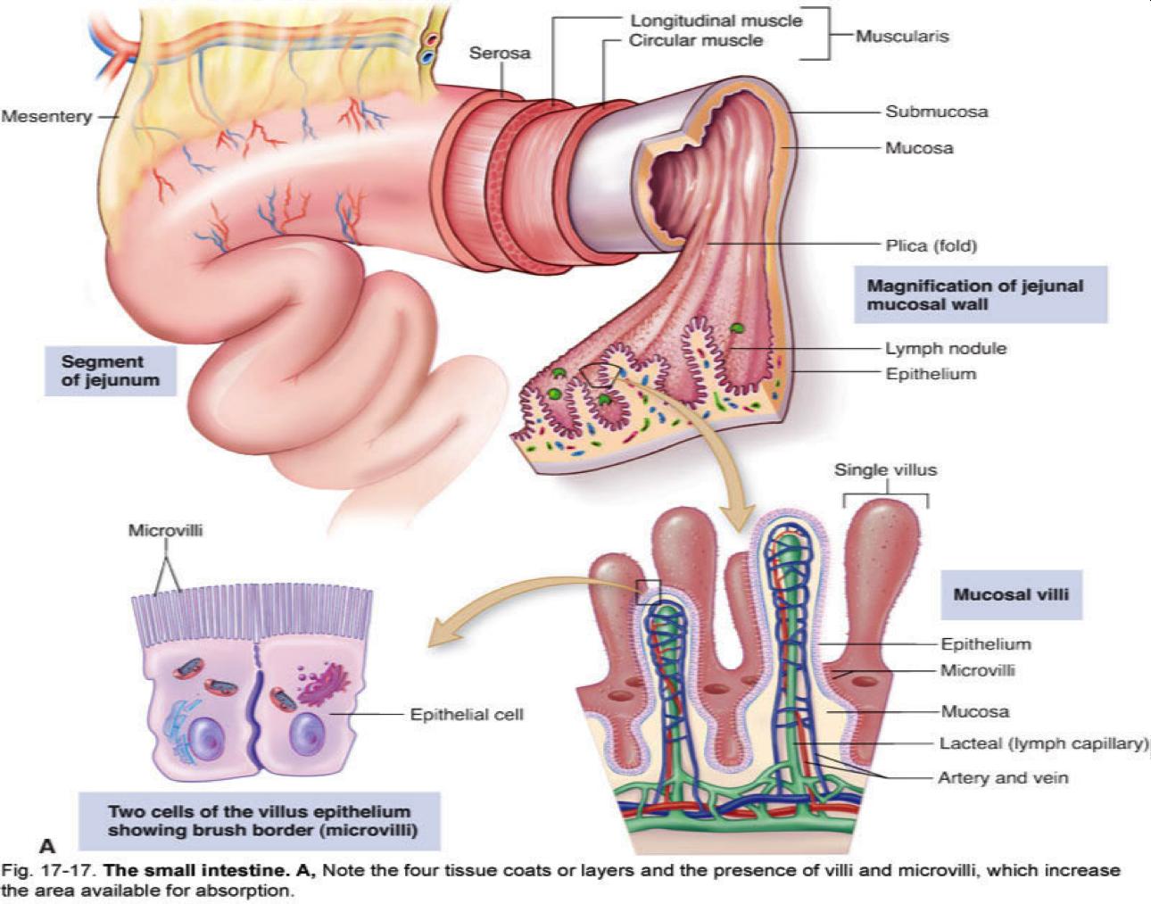 medium resolution of healthy villi microvilli