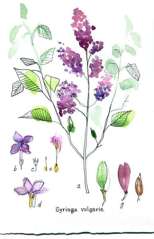 Lilas Cécile Hudrisier Paint Watercolordrawings