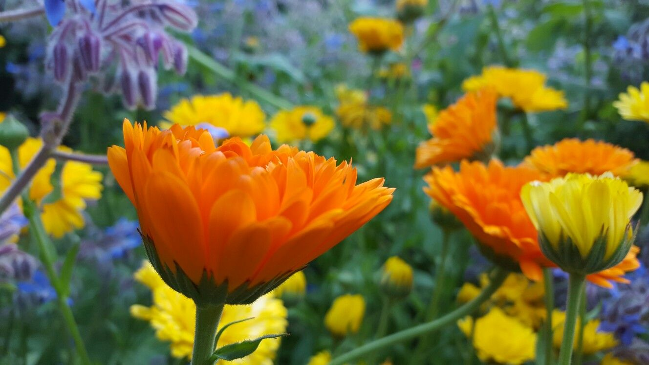I just love calendula Indian Prince. The colours live up