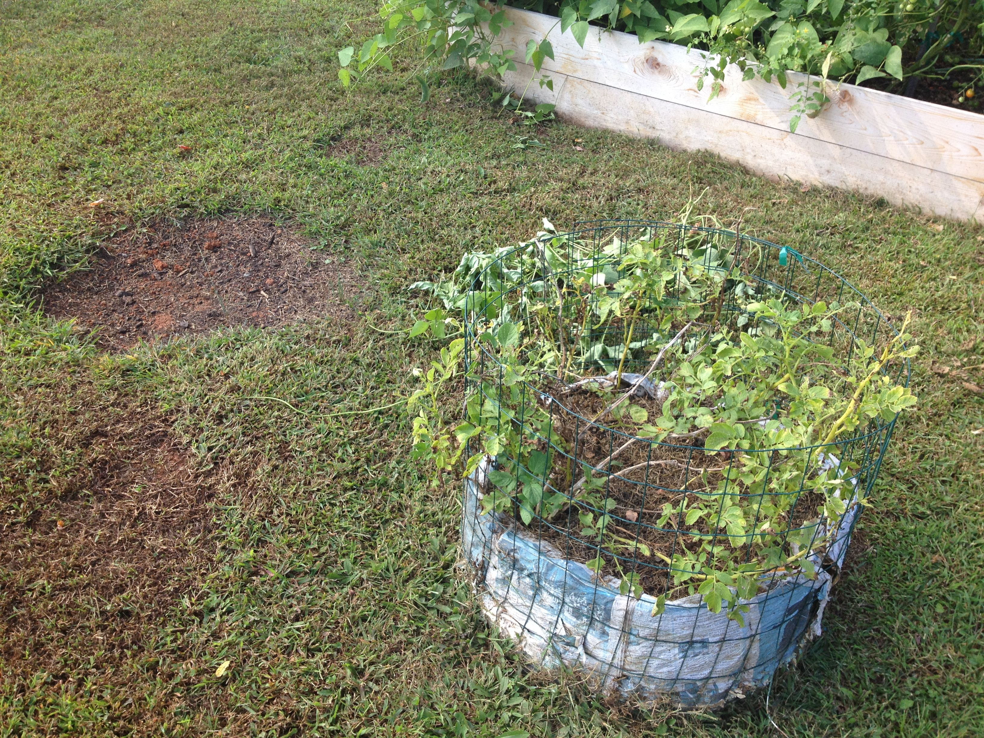 Sept. 2014 Fall Garden: Potato bin behind right bed. German Butterball. Haven't harvested yet. I don't remember what happen to 4th bin!? I guess already harvested.