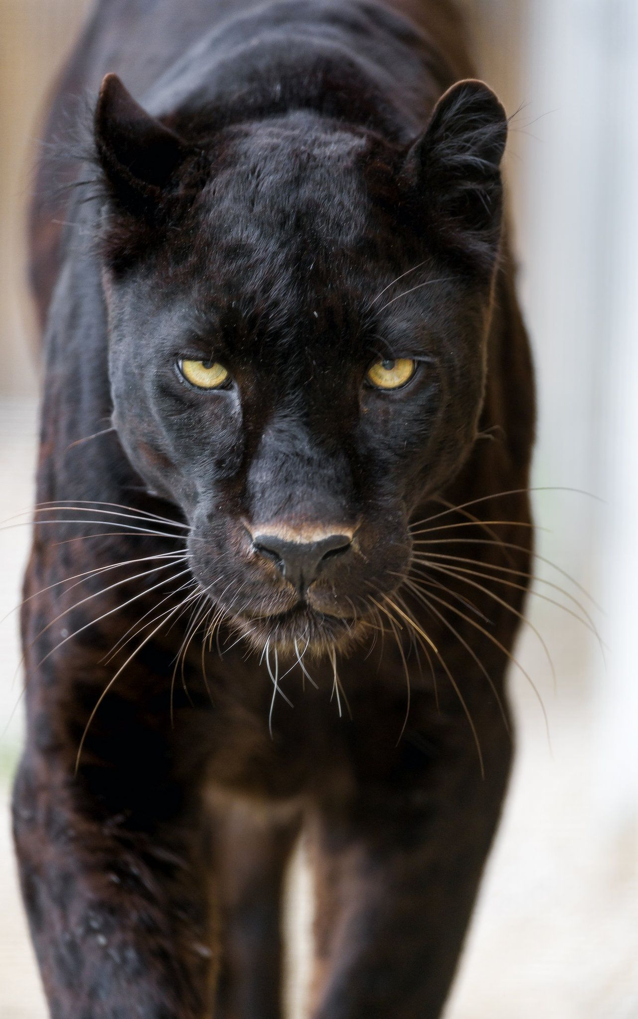 Blacky getting really close! Черная пантера, Черный