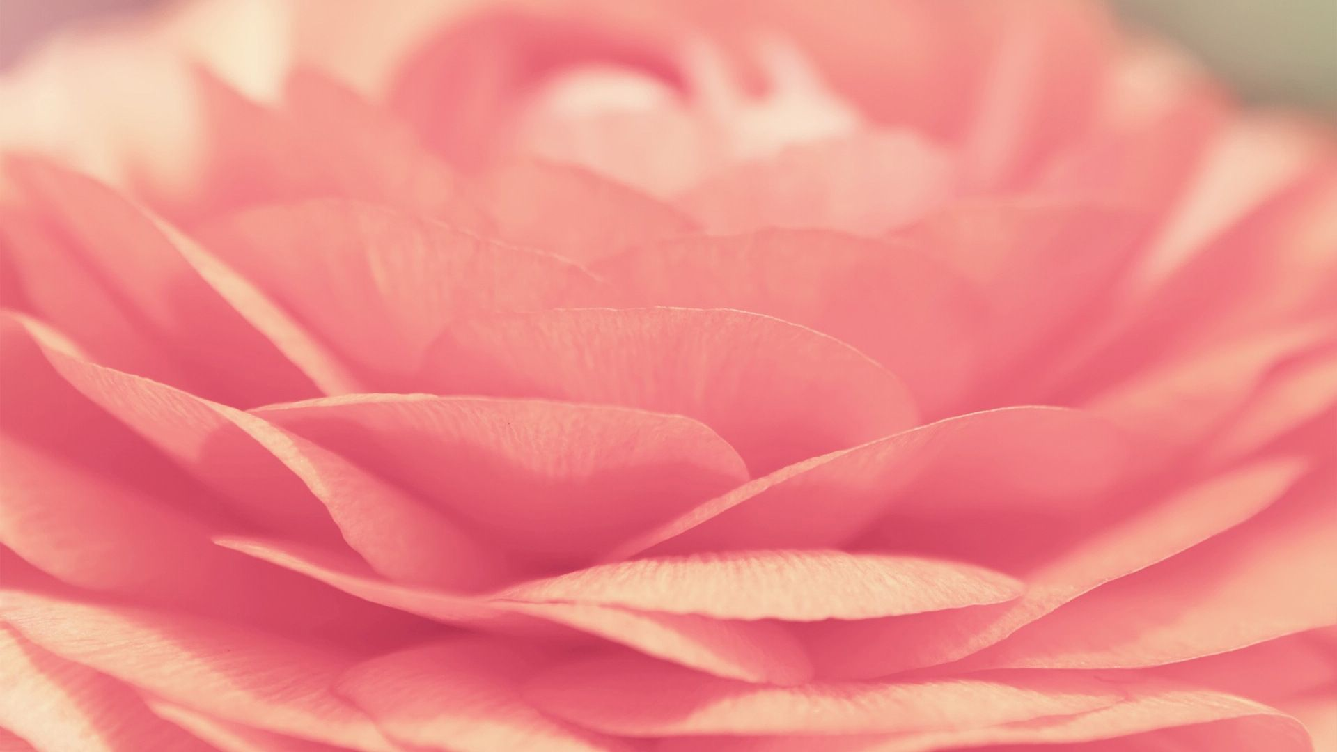 1920x1080 Pink Rose Desktop Pc And Mac Wallpaper Rose Wallpaper Ipad Wallpaper Ipad Air Wallpaper