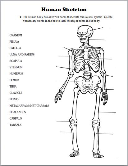 Skeletal System School Skeletal System Human Muscle