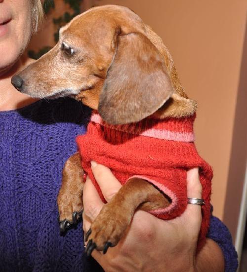 Meet Lily A Petfinder Adoptable Dachshund Dog Dallas Tx You
