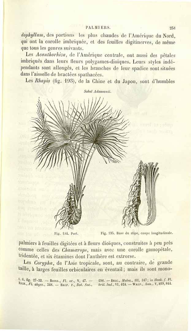 231077 Sabal minor (Jacq.) Pers. [as Sabal adansonii Guerns.]  / Baillon, H.E., Histoire des plantes, vol. 13: p. 251, fig. 194,195 (1894-1895) [A. Faguet]