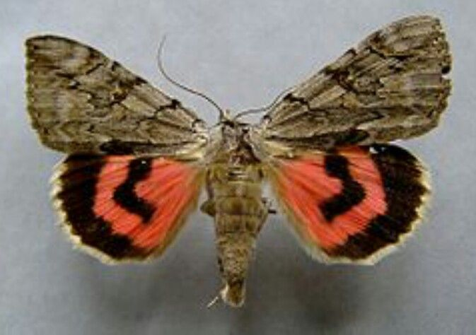 Wilgen Weeskind Moth Butterfly Insects