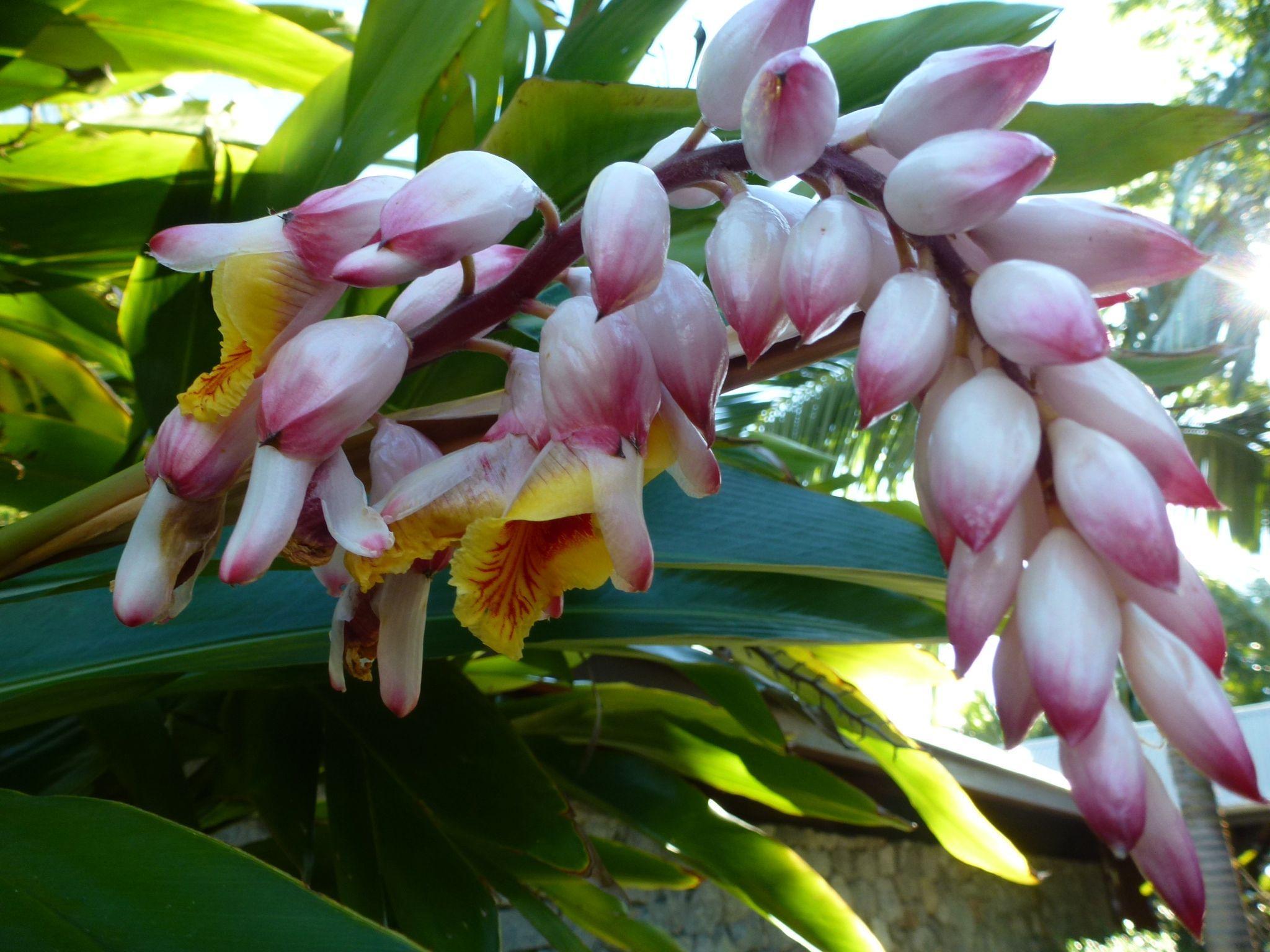 Flower from Ornamental ginger plant.