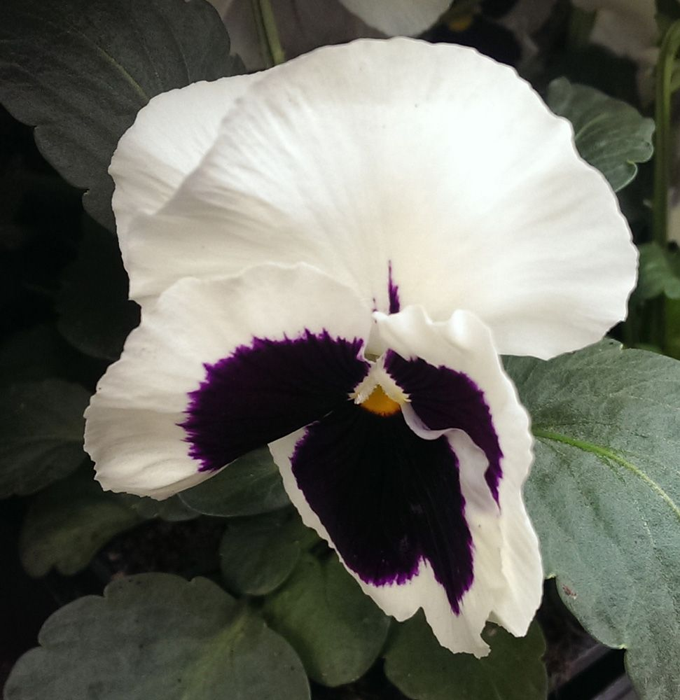 Pansy white purple flower - How to grow Pansy plant, growing beautiful Pansy flowers in your garden http://www.growplants.org/growing/pansy