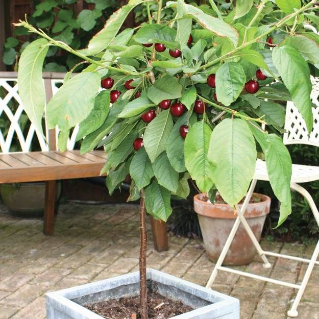 Some Planting Tips Growing Cherry Trees From Seeds Garden Season Guide Planting Cherry Seeds Growing Cherry Trees Cherry Plant