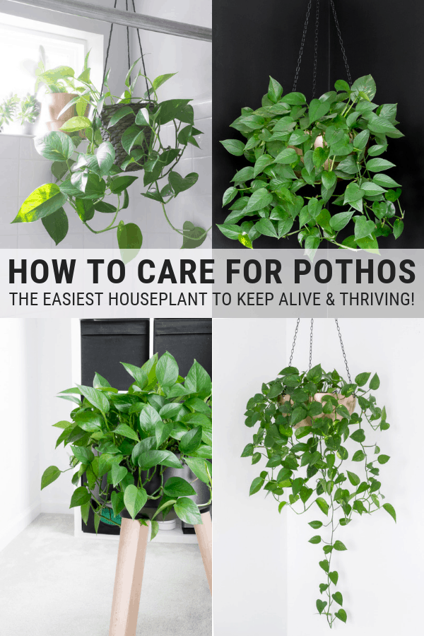 How to Care for Pothos: Golden Pothos Plant Care & Instructions