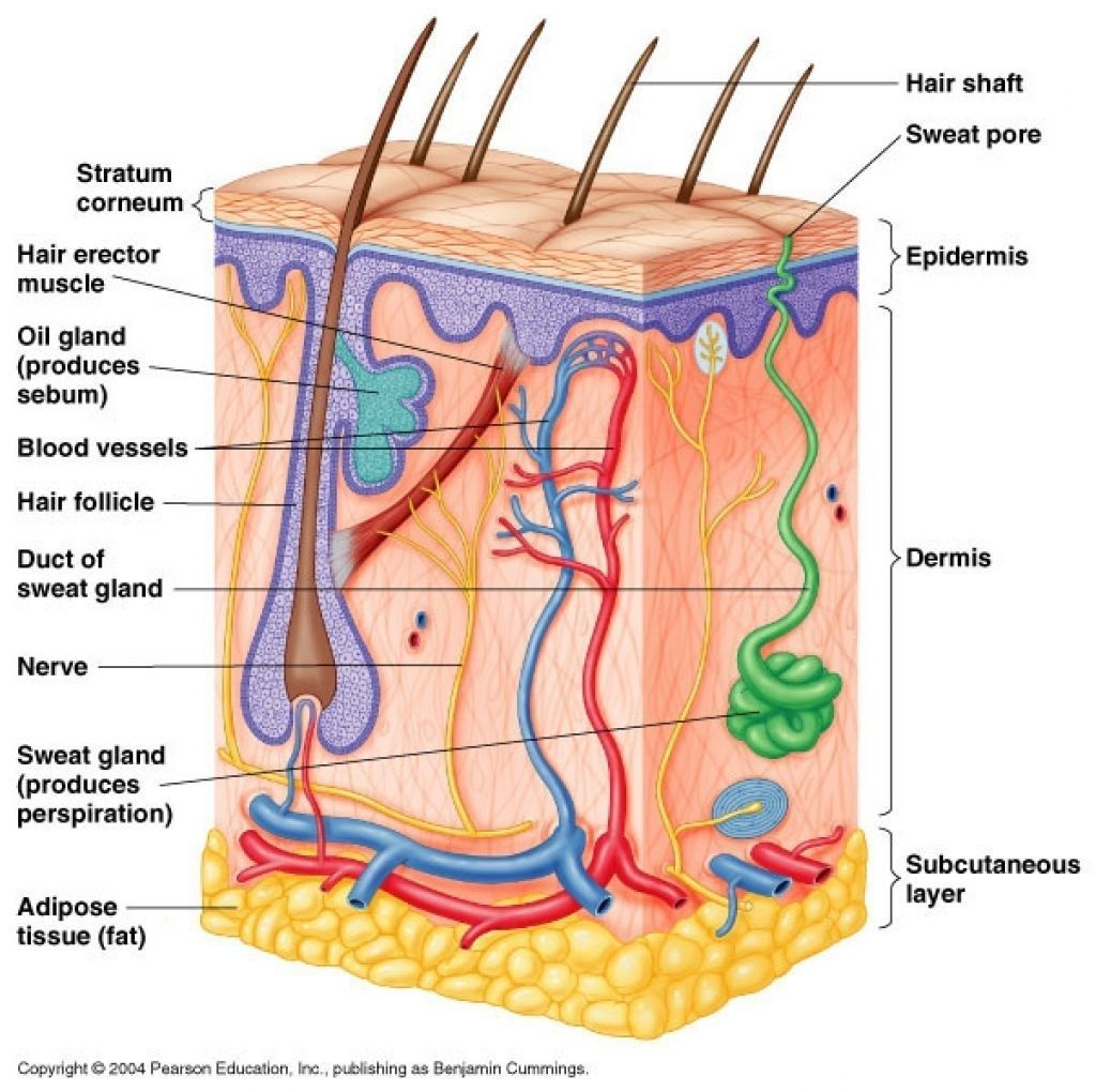 Human Anatomy Diagrams To Label