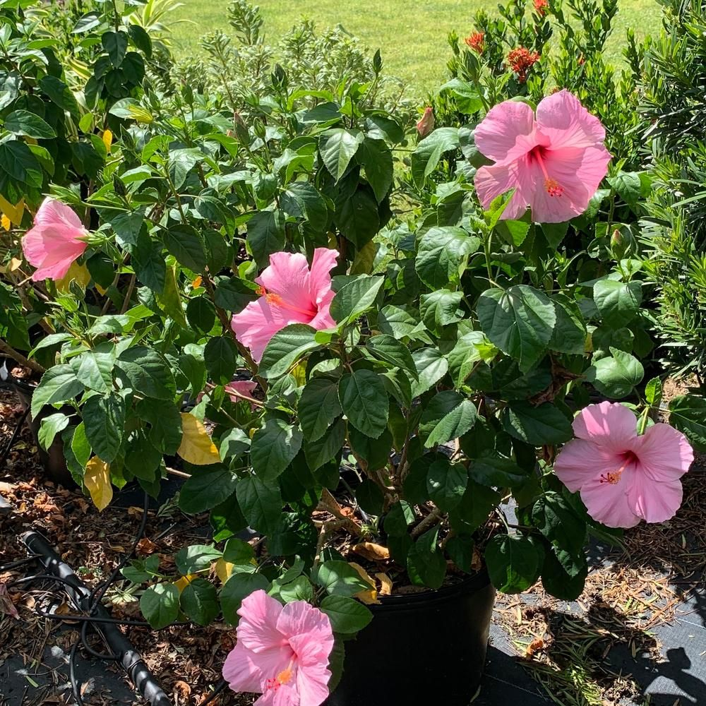 Onlineplantcenter 3 Gal Seminole Pink Tropical Hibiscus Flowering Shrub With Large Single Pink Flowers H949g3 In 2020 Flowering Shrubs Hibiscus Bush Evergreen Plants