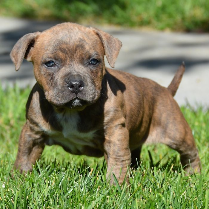 Pitbull Puppies For Sale Bully Pitbull Pups Blue Pits