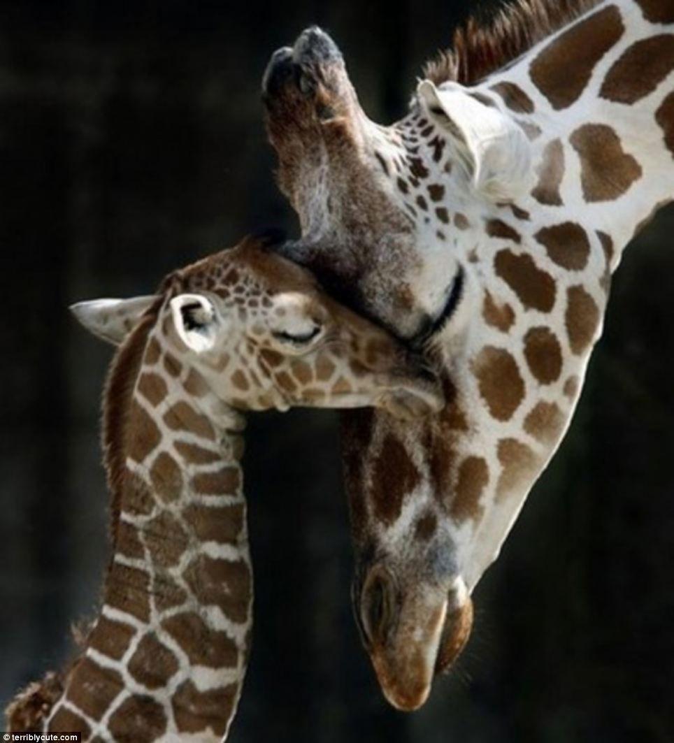 Resultado de imagen para jirafas tiernas
