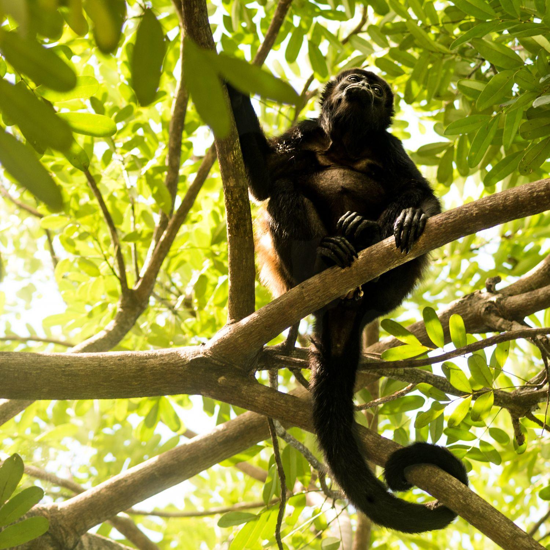 Howler Monkey In Nosara, Costa Rica #Monkeyscostarica #Monkeys #Costaricaanimals #Jungleanimals