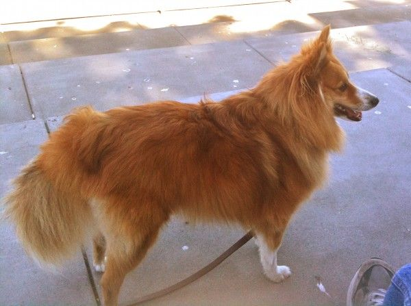 I M Not Sure How The Name Is Spelled Moo Shu Mu Shu Moo Shoo Moo Shoe For That Matter And Then Her Parents Showed Up Hybrid Dogs Sheltie Pomeranian Mix