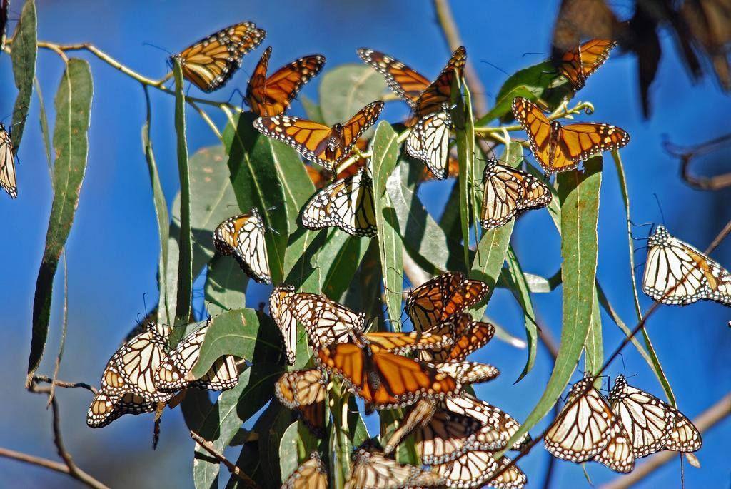 Monarch Erfly Sanctuary Pismo Beach