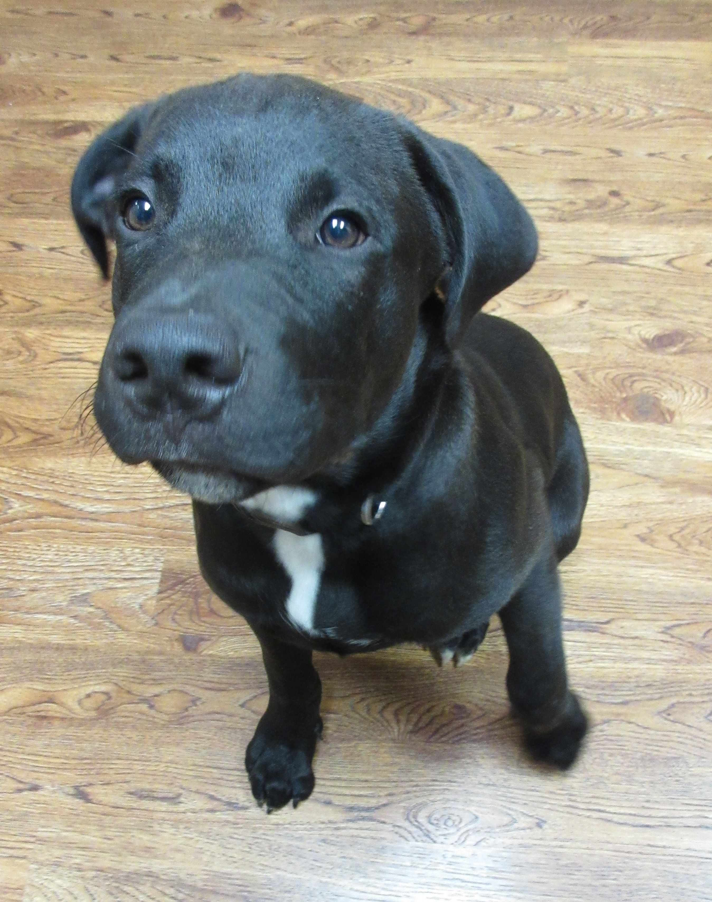 Spike Is A 16 Week Old Lab Rottweiler Mix Rottweiler Mix Rottweiler Cute Puppies
