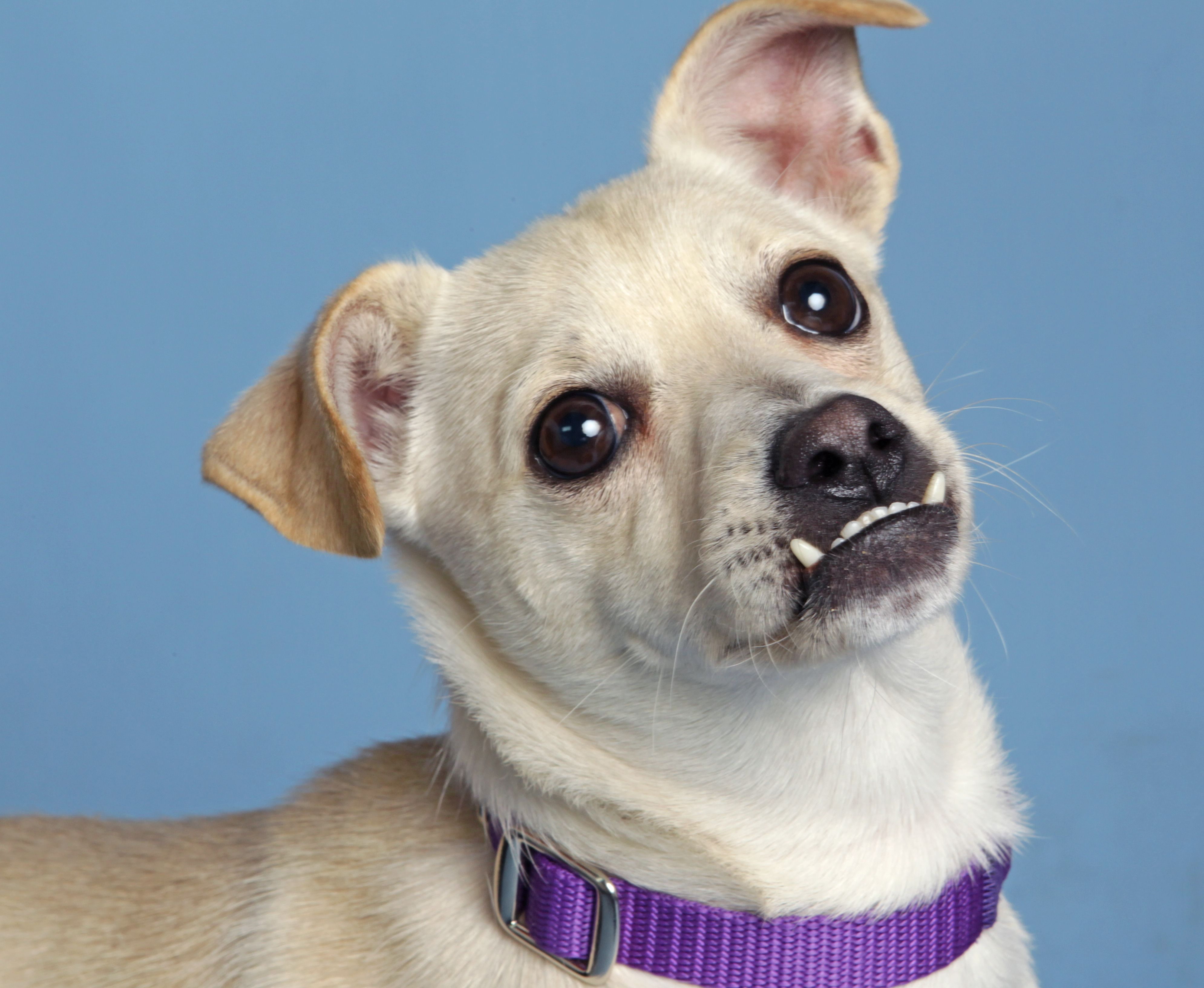 Greetings I M Herbie A Charming 10 Month Old Chihuahua Pug Mix Looking For My Special Family To Love I M A Spunky Guy Who Chihuahua Pug Mix Dogs Chihuahua