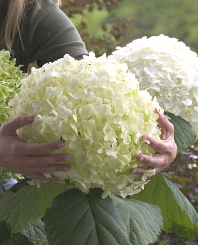Incrediball is the improved annabelle hydrangea boasts sturdier hydrangea incrediball also called the strong annabelle has beautiful robus branches and big white flowers this hydrangea remains a jewel in any garde even mightylinksfo Image collections
