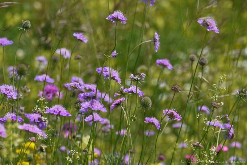 Knautia Arvensis Acker Witwenblumen Violett Naturfotos Bettina Huser Perennial Plants Perennials Plants