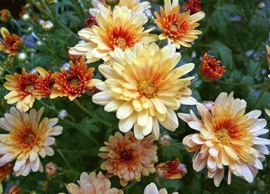 Herbstaster Was Bluht Im Herbst Pinterest Garten Pflanzen