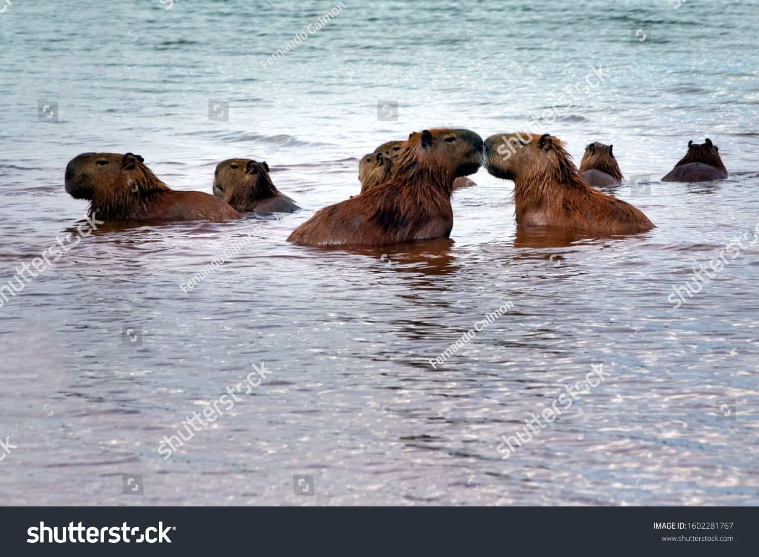 Two capybaras kissing while the rest of the herd enjoy Lake Parano¨¢ in Brasilia, Brazil. The capybara is the largest rodent in the world. Species Hydrochoerus hydrochaeris. Animal life. Cerrado. #Ad , #affiliate, #Parano#Lake#Brazil#Brasilia