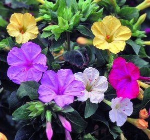 Seed savers exchange 288 open pollinated flower seeds four oclock 288 open pollinated flower seeds four oclock abundant flowers open after 4 pm and attract hummingbird moths tender perennial grown as an annual tall mightylinksfo