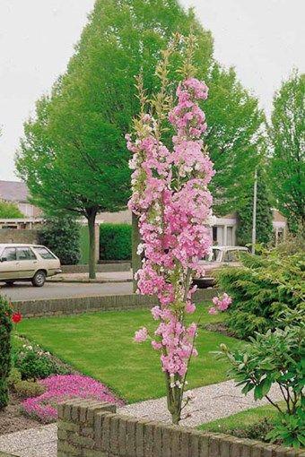 florimon cerisier fleurs amanogawa arbuste rig formant une v ritable colonne et offrant. Black Bedroom Furniture Sets. Home Design Ideas