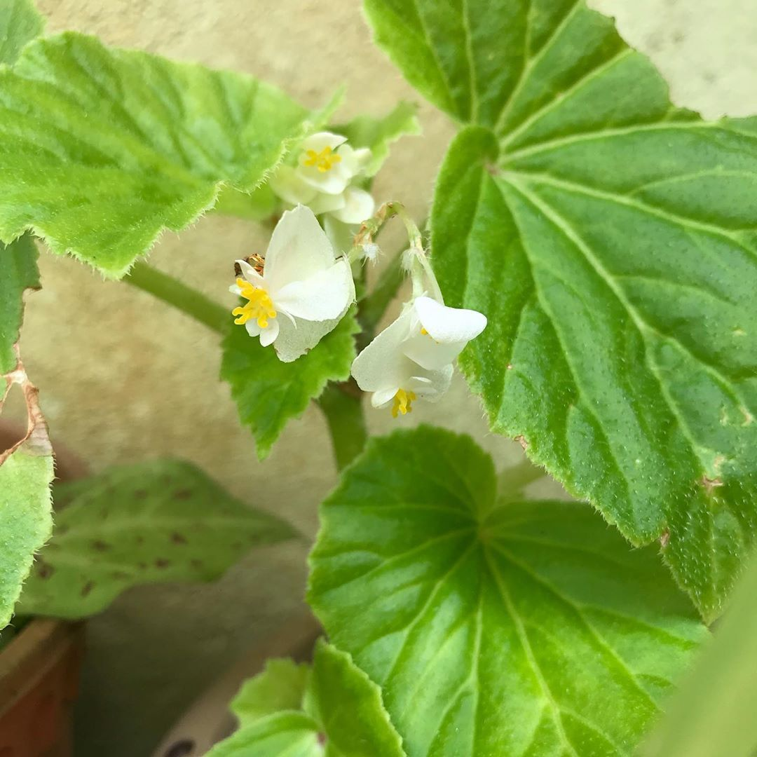 This Begonia From I Don T Know Where Growing In One Of My Plant Pots Original Plant Died And Overtaken By Weeds And Plants Garden Plants Plant Life