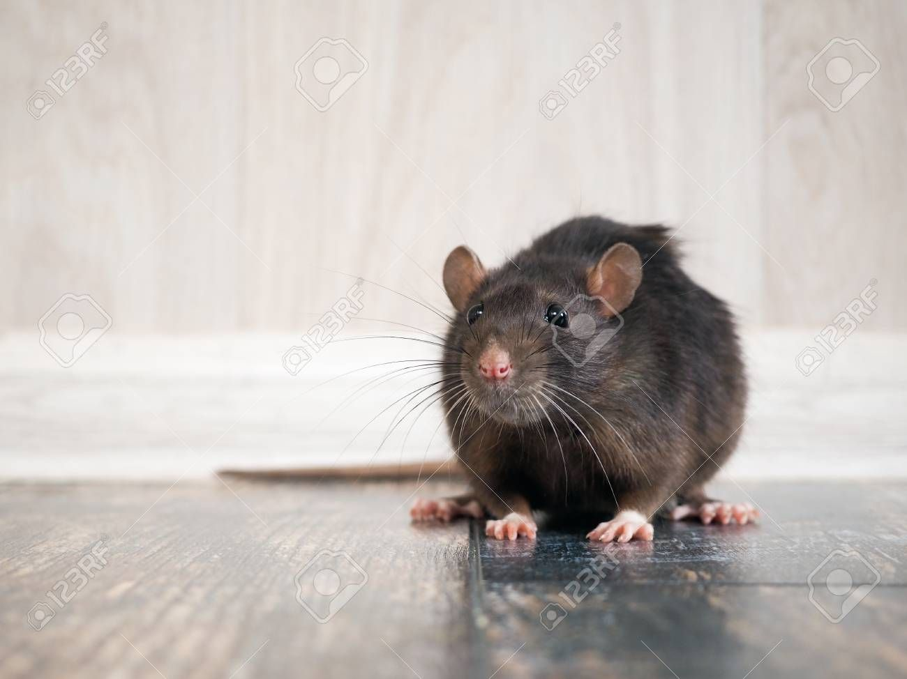 Rat In The House On The Floor Affiliate Rat House Floor Rodent Problem Rodents Rodent Control