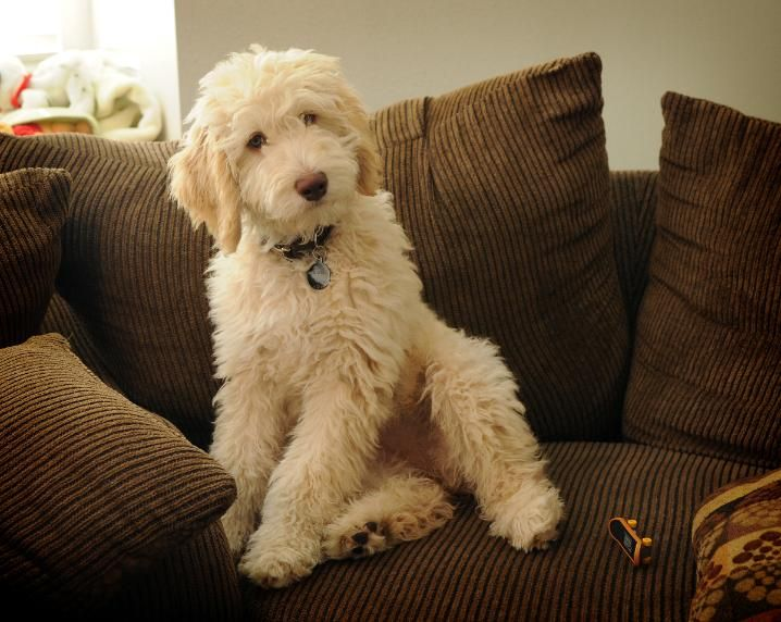 Labradoodle Puppies Australian Sale Los Angeles Southern