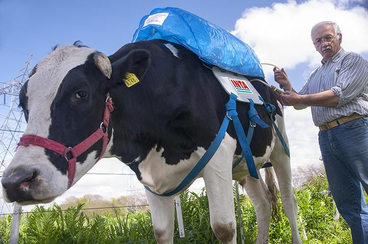 Dutch cows w/ backpacks that collect fart gas &store it for energy.