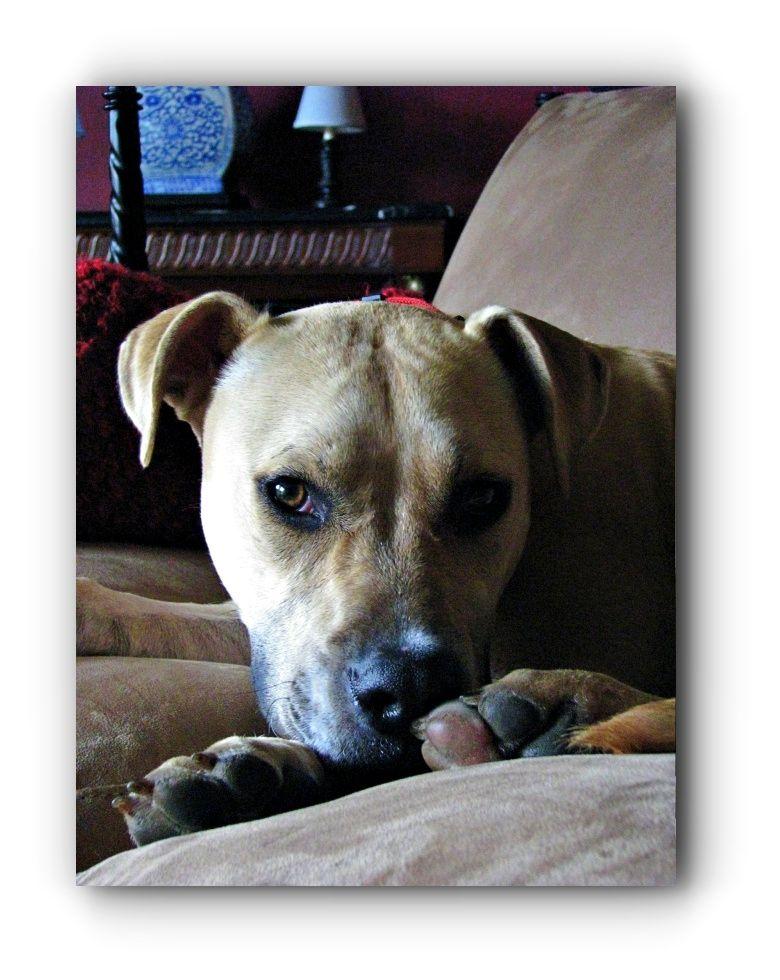 Pitbulls Bully Pitbulls And Parolees Season 4 Episode 3 Click Visit Link For More Details Pitbullsquotes Pitbullsfunn Pitbull Dog Dog Breeds Pitbulls