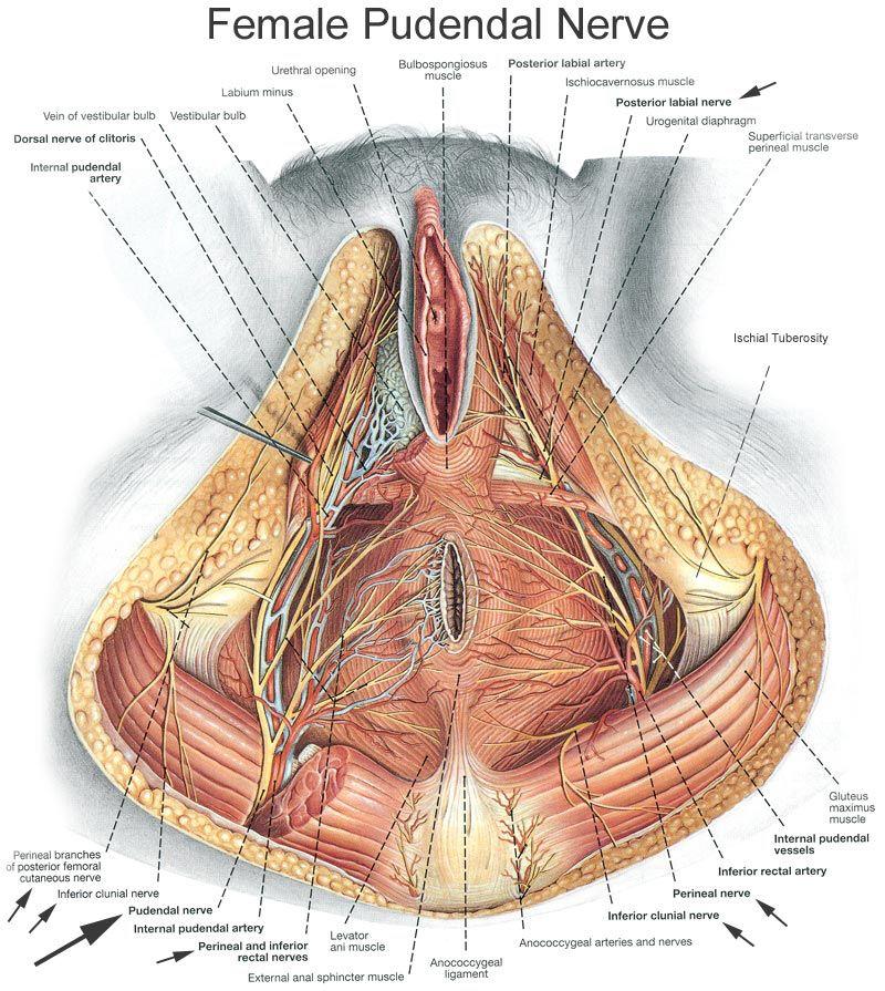 Pudendalnerve | piriformis | Pinterest | Anatomy, Acupuncture and ...