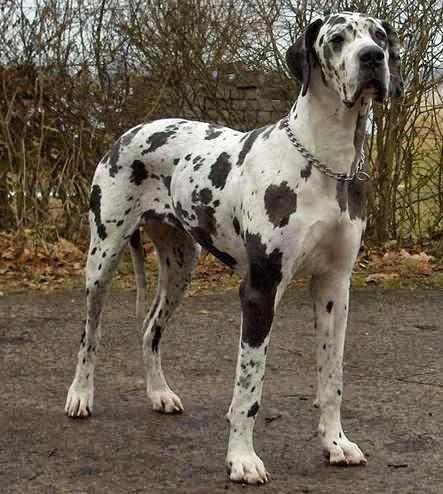 10 Best Big Dog Breeds For Families Big Dog Breeds Dane Dog
