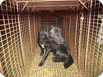 Douglasville, GA - Labrador Retriever/Collie Mix. Meet Carlos, a dog for adoption. http://www.adoptapet.com/pet/14119083-douglasville-georgia-labrador-retriever-mix