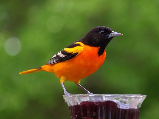 The Baltimore Oriole Is The Maryland State Bird Xoxo State Birds Bird Cozy Mystery Series
