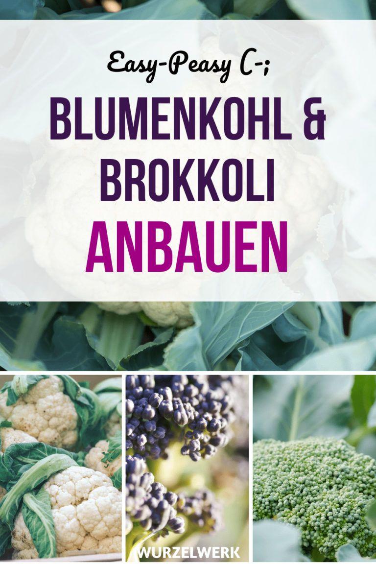 Photo of Blumenkohl & Brokkoli pflanzen, anbauen und ernten – die komplette Anleitung! – Wurzelwerk