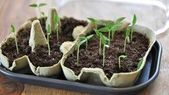 Gartenkalender 2020: Tipps von Januar bis Dezember Paprika-Keimlinge Diese im …  – uncategorized