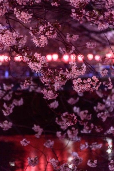 Beautiful Cherry Blossom Along the Meguro River