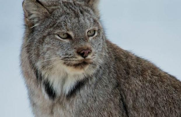 A lynx and her kitten were recently spotted climbing through a fence in Banff National Park.