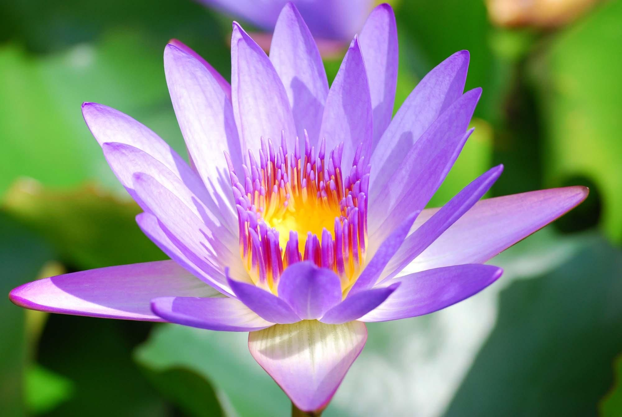 Purple Lotus Flower Wallpapers For Android Natures Wallpapers