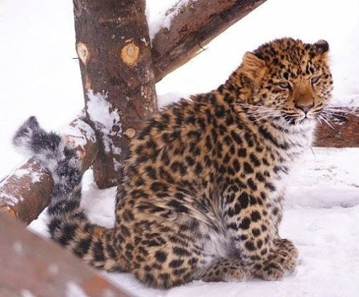 <<In the world there are only 60 Amur Leopards>>
