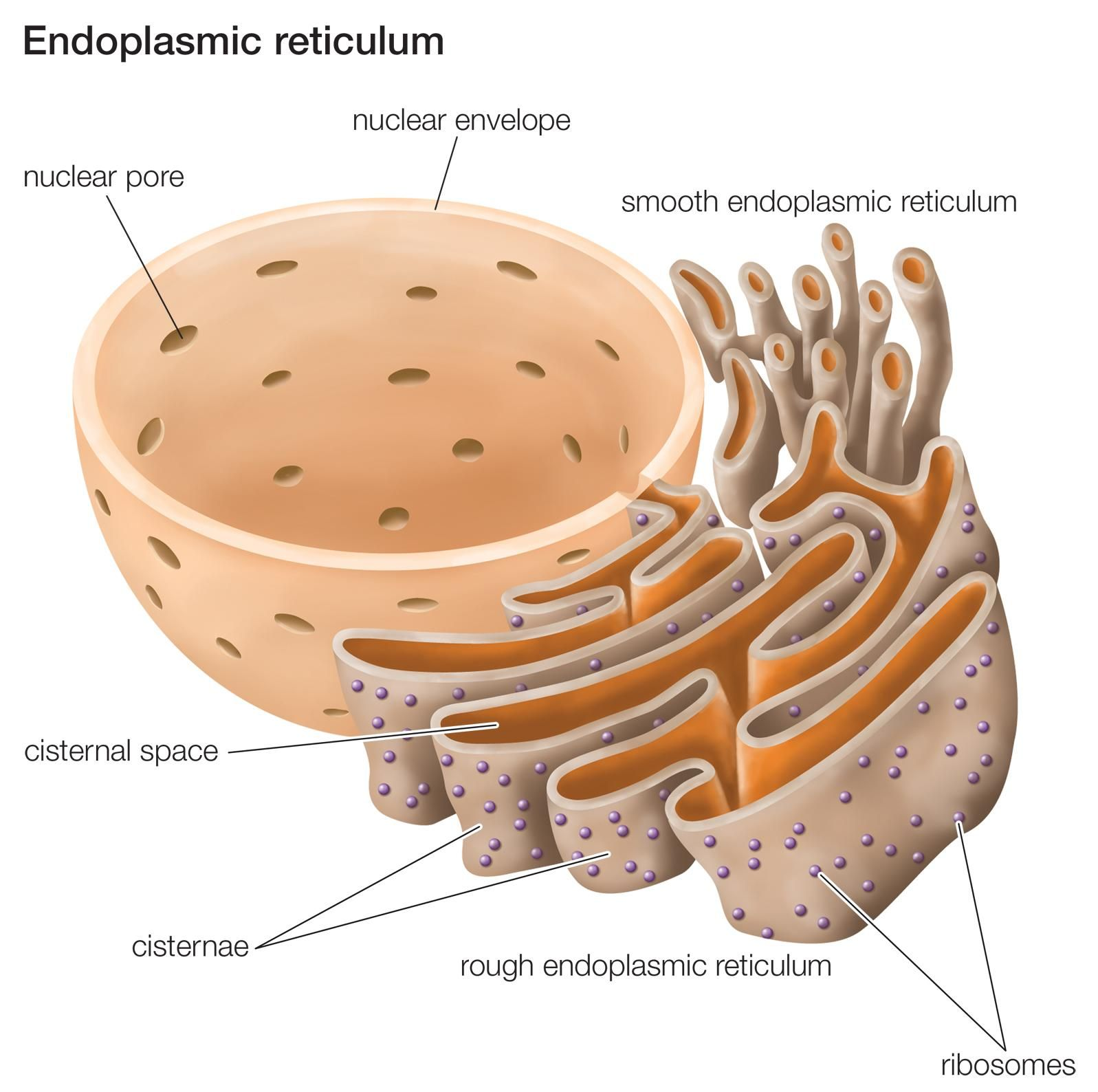 Endoplasmic Reticulum Is A Continuous Membrane Which Present In Prokaryotic Cell Structure Diagram Both Plant Cells Animal And Absent