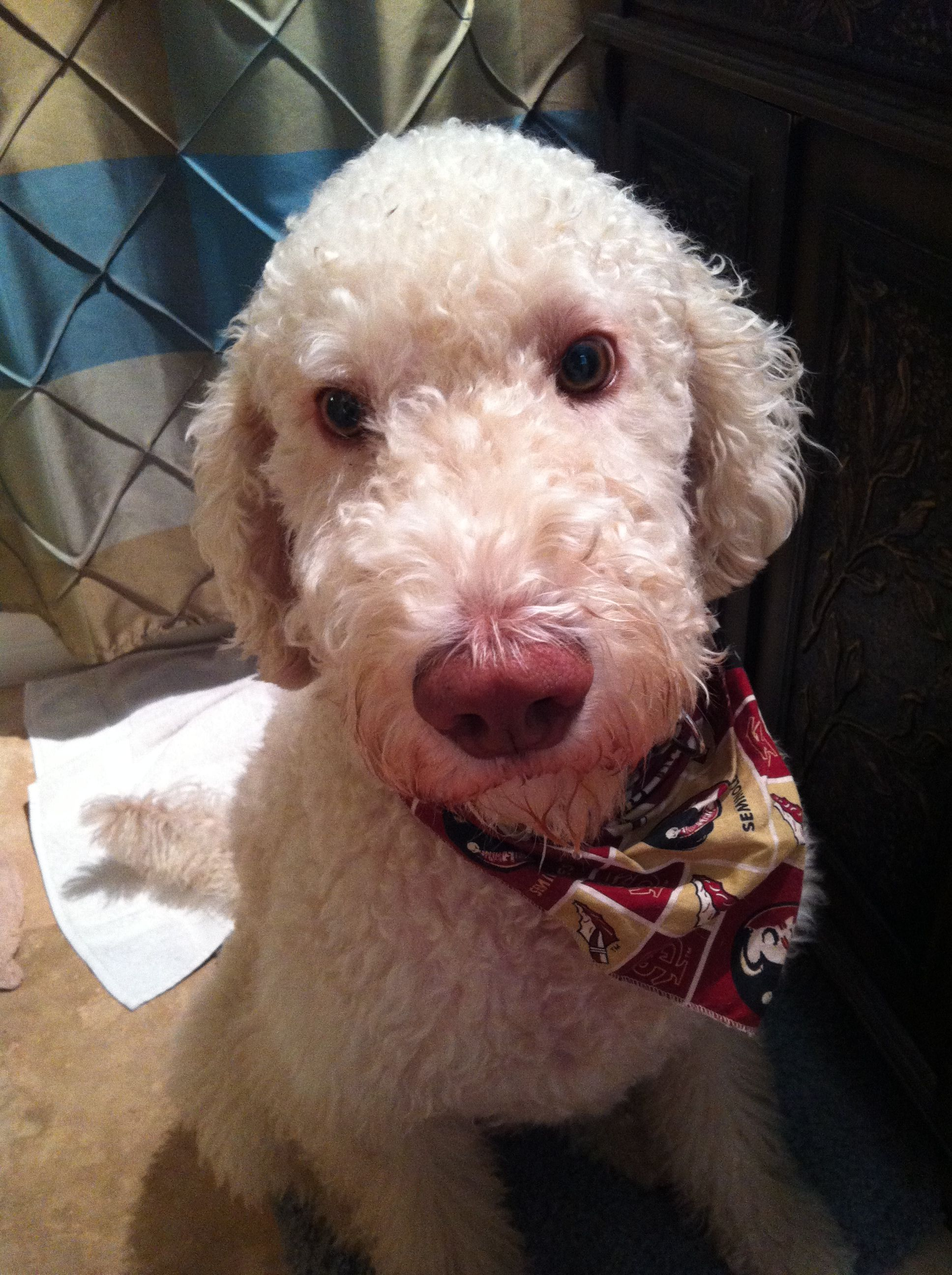 Our Labradoodle Bowden