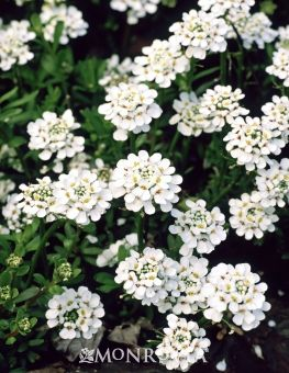 Purity Candytuft Monrovia Purity Candytuft Flowers Perennials Florida Flowers Perennial Plants