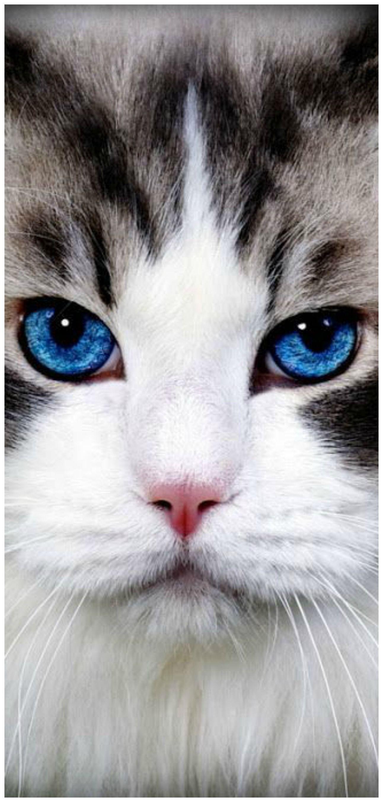 Pin By Tite Ambrosen Canha On Ragdoll Kitties Cats Animals Kittens